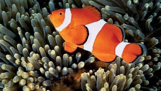 Spoločný klaun ryby
