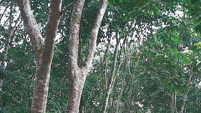 Kaučukovo drvo